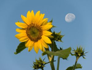 Sun(flower)_and_Moon_(by)